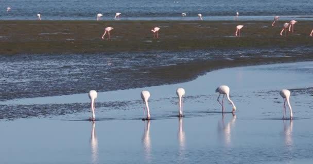 Rosy Flamingo kolónia Walvis Bay Namíbiában