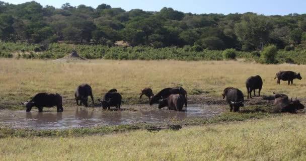 Cape Buffalo a Chobe folyónál, Botswana szafari vadvilág