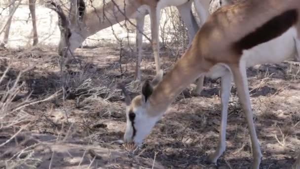 Portré fiatal Impala antilopok az Etosha nemzeti parkban Namíbia legeltetés
