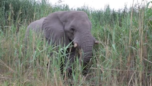 Ritratto di pascolo elefante africano in Etosha national Park, Ombika, Kunene, Namibia. Fotografia naturalistica vero
