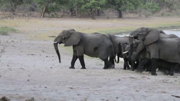 A csorda afrikai elefánt megy például víznyelő, Etosha Nemzeti Park, Ombika, Kunene, Namíbia. Igazi vadon élő állatok fotózás
