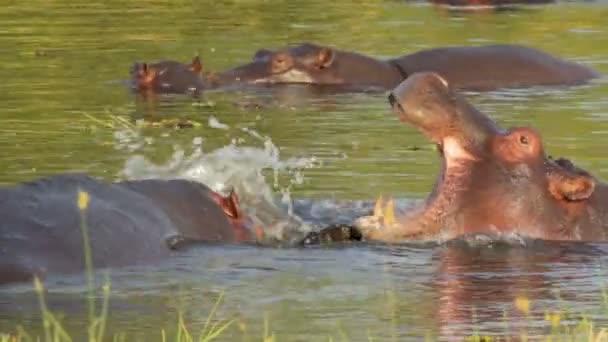 zwei kämpfende junge männliche Nilpferde
