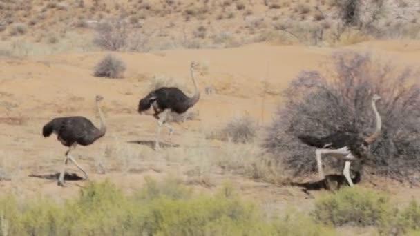 Running Ostrich, Struthio camelus, in Etosha Park, Oshana Namibia, South Africa