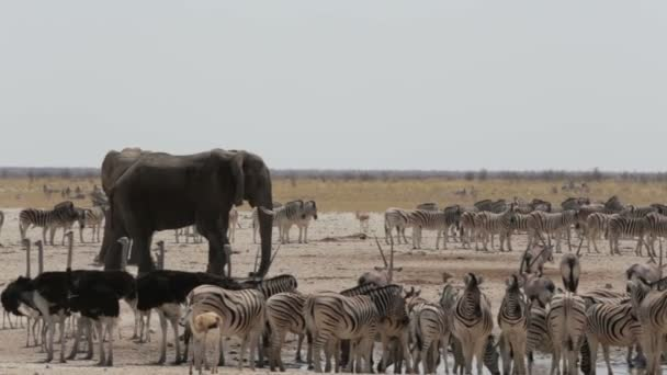 Zsúfolt például víznyelő-elefántok, zebrák, springbok és orix. Namíbia, Etosha Nemzeti Park, Ombika, Kunene. Igazi vadon élő állatok fotózás