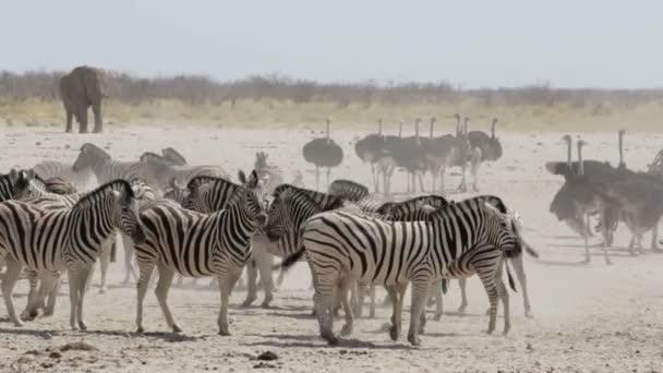 Crowded waterhole with zebras and osrtich. Etosha national Park, Ombika, Kunene, Namibia. True wildlife