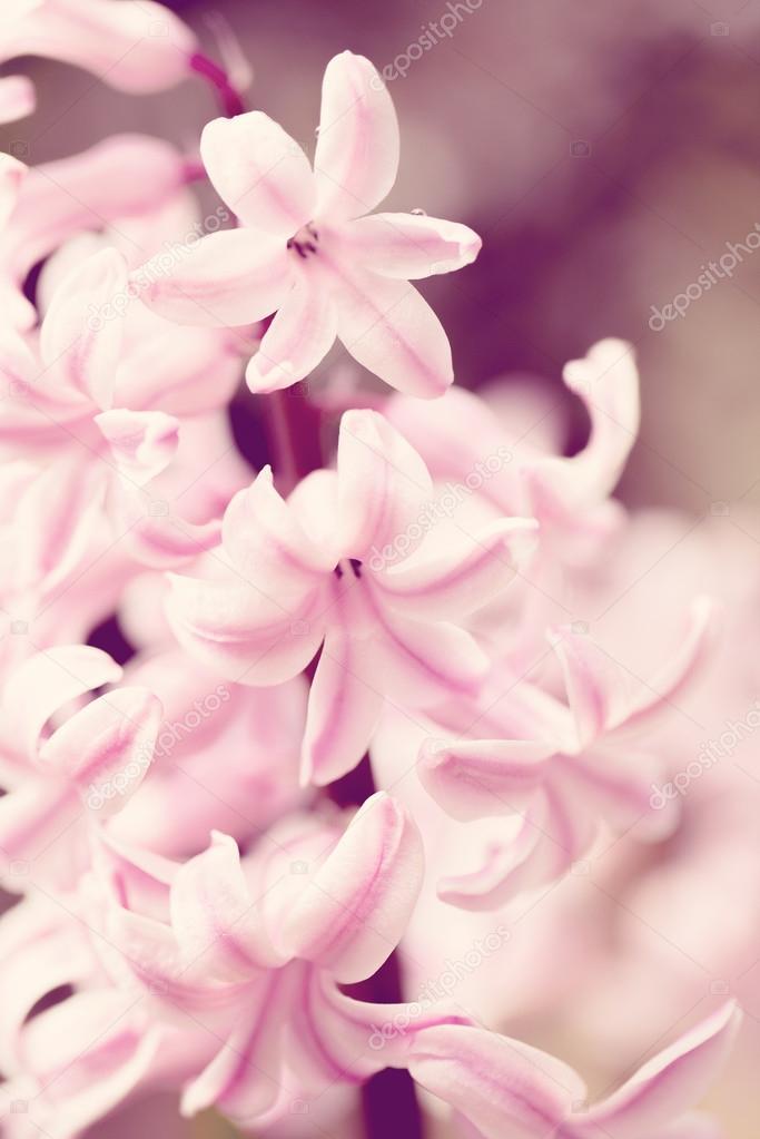 pink hyacinth flower in spring garden in vintage color tone