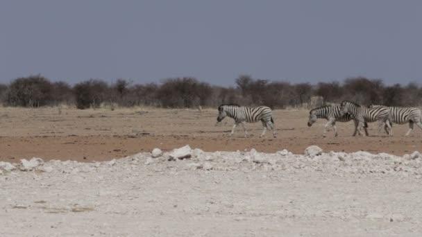Zebry v africké buši