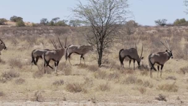 Spießbock, Oryx Gazella, Kgalagadi-Transfrontier-Nationalpark