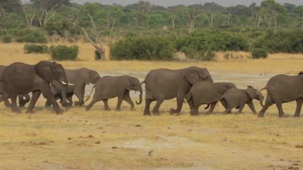 Például víznyelő: afrikai elefánt csorda