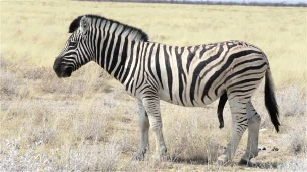 Zebras male ready for mating in african bush