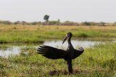 Africké Openbill s křídly na večerní slunce