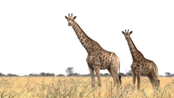 Giraffa camelopardalis grazing Etosha