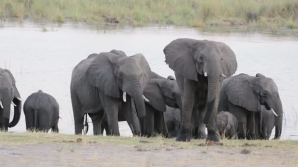 herd of African elephants on waterhole
