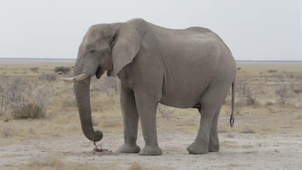 Etosha nemzeti park-a nagy afrikai elefánt