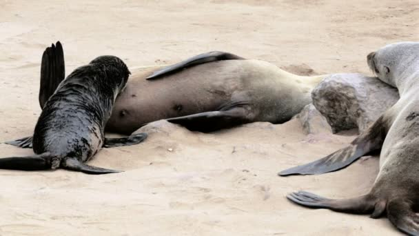 small baby of Brown fur seal drinking milk from mother, sea lions in Namibia
