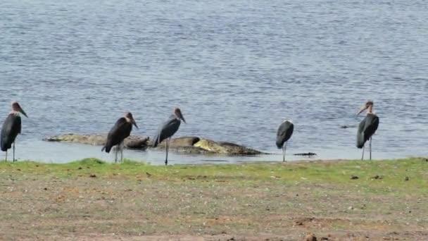 Nile Crocodile and Marabu feasting on carrion buffalo