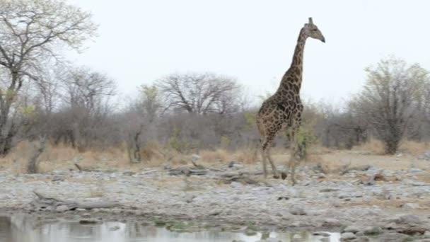 Giraffa camelopardalis drinking from waterhole in Etosha national Park