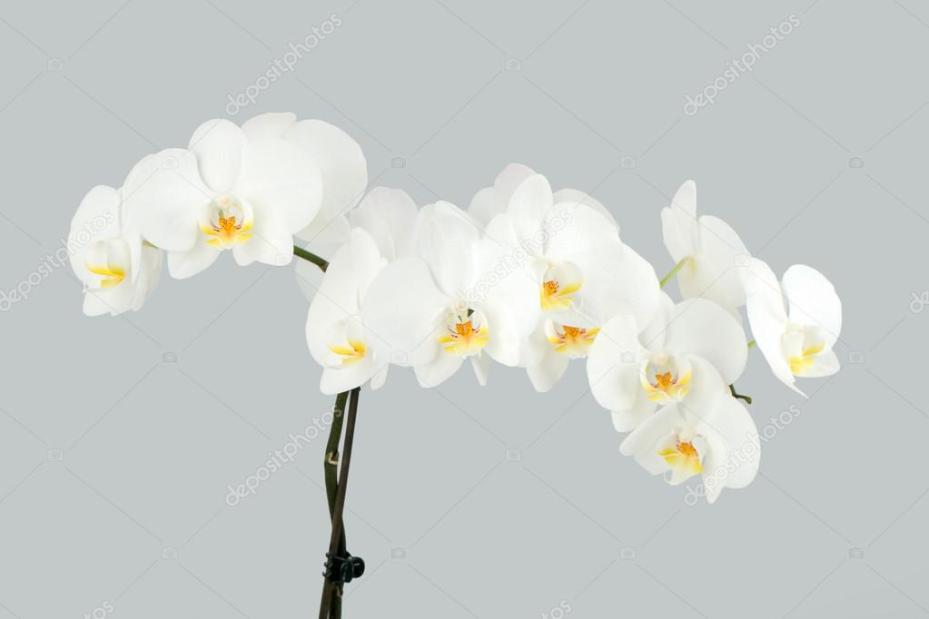 Branch of white orchid on grey background