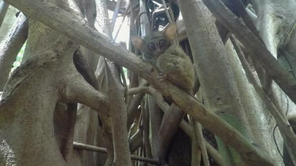 Spectral tarsier (Tarsius spectrum),Tangkoko National Park, Sulawesi