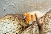 Goldener Löwe Tamarin