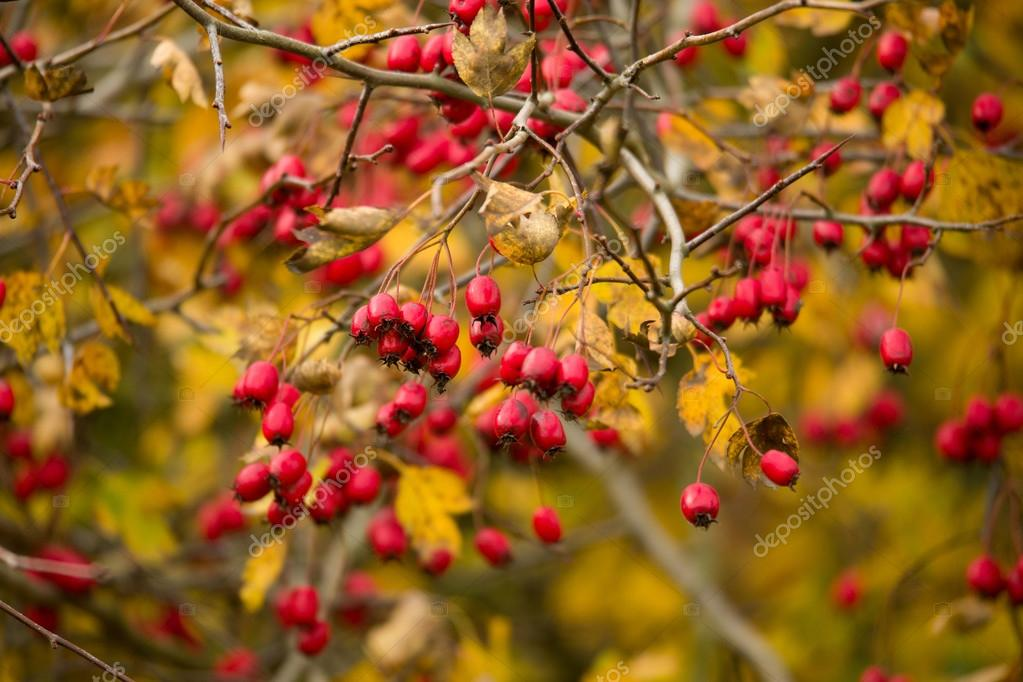 wild rosehips in nature, beautiful background