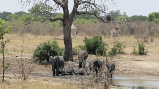 herd of African elephants bathing at a muddy waterhole