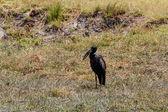 Africké Openbill v Chobe