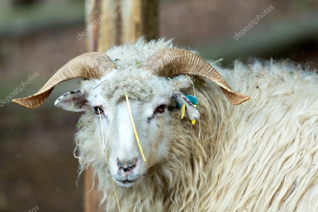 Ram o pillo maschio della pecora foto stock artush - La pagina della colorazione delle pecore smarrite ...