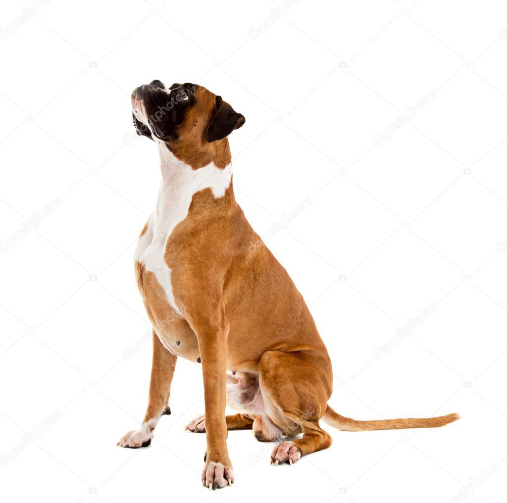 boxer de couleur fauve photographie borojoint 91897518. Black Bedroom Furniture Sets. Home Design Ideas