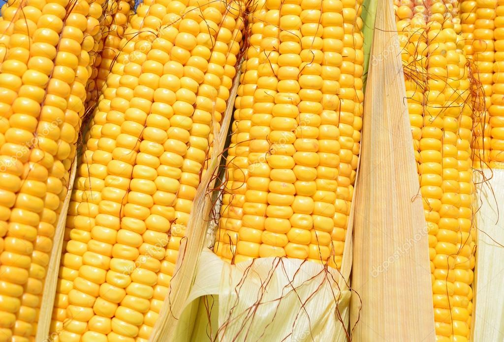 Ripe corn in the rural landscape.