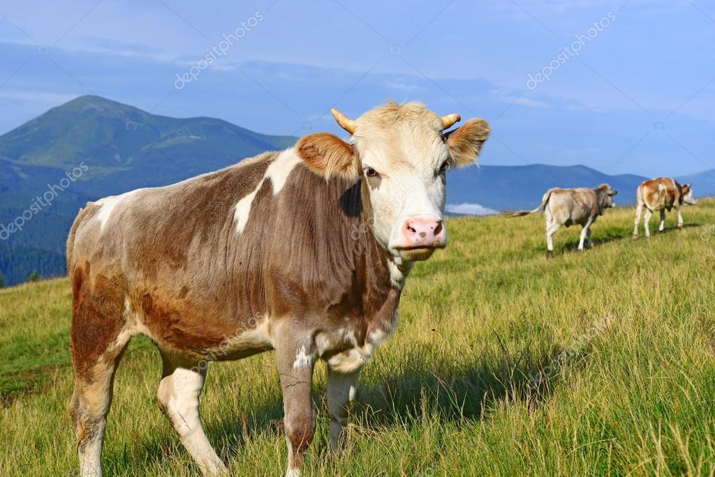 The calf on a summer pasture in the Carpathian Mountains