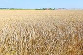 Fotografie Grain harvesting combine