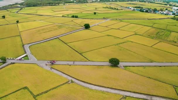 Gyönyörű rizsföldek és Mr. Brown Avenue légi kilátása Chishang kerületben, Taitung megyében, Tajvanon ősszel