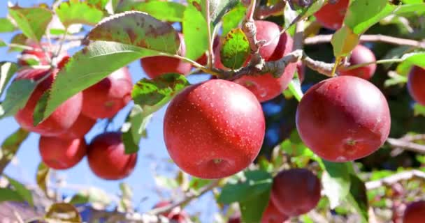 close up Apple tree with red apples