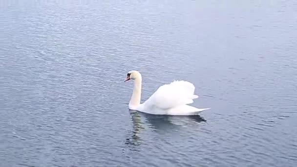 Krásný pták Swan plavání v jezeře