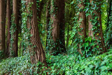 Big trees with ivy lianas in forest