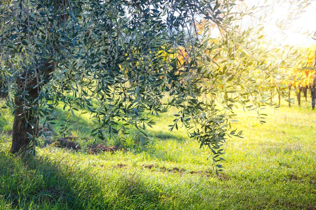 Beautiful sunrise landscape of Olive trees plantation
