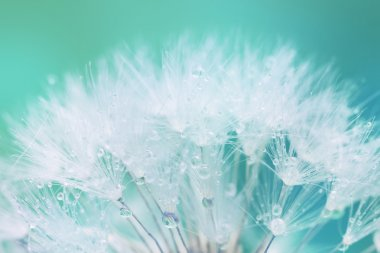 Tender White Dandelion seed with water drops