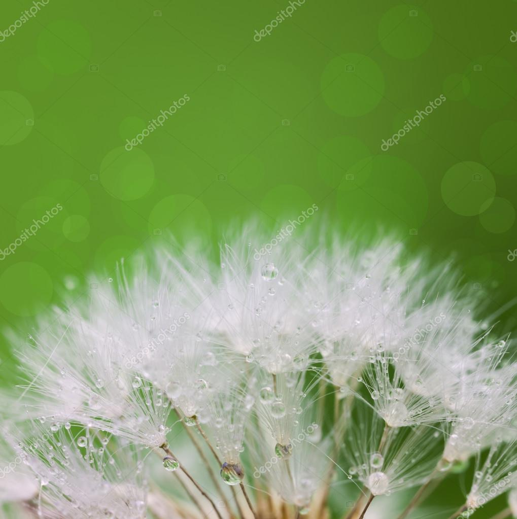 White Dandelion seed with water drops over green background