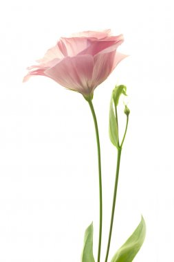 Beautiful fresh pink rose flower isolated on white background stock vector