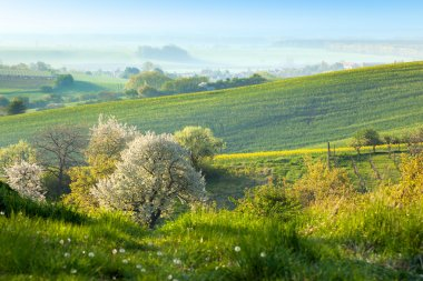 Countryside background - Flowering trees, green grass and beauti