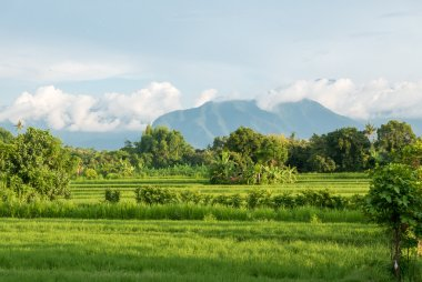 Green rice fields in Lovina on Bali island with volcano, Indones