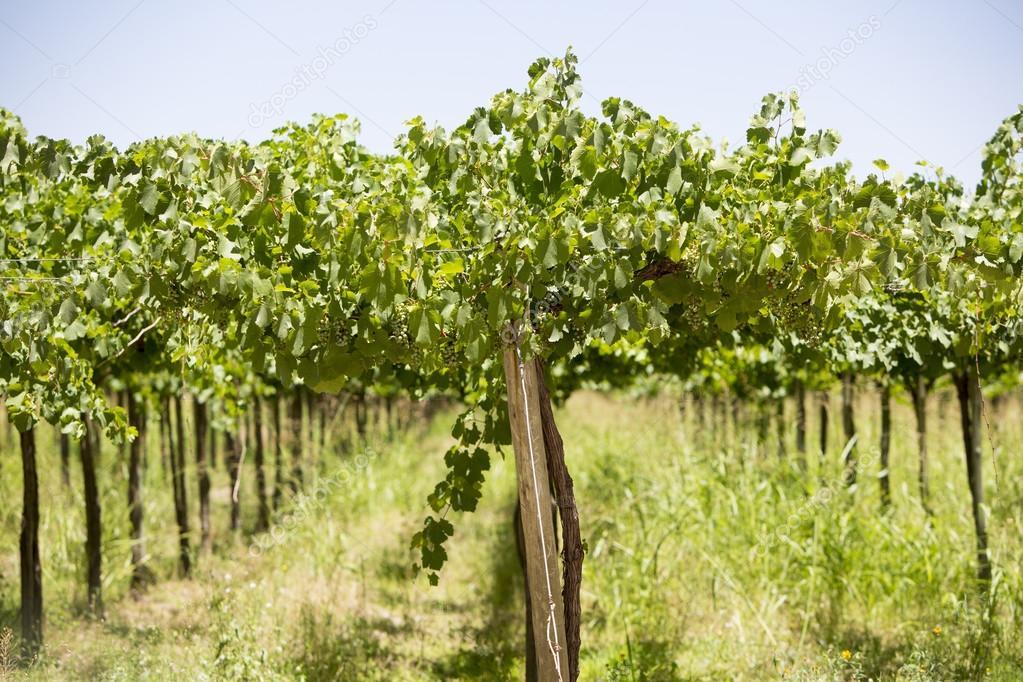 Detail of vineyards in Argentina