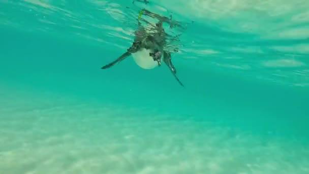 Galápagosi pingvin úszni a víz alatt. Galagapos, Ecuador