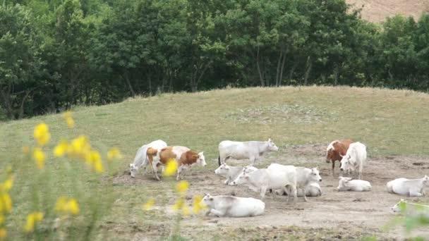 Fehér nagy csorda tehén legelő, a rétek, Olaszország.