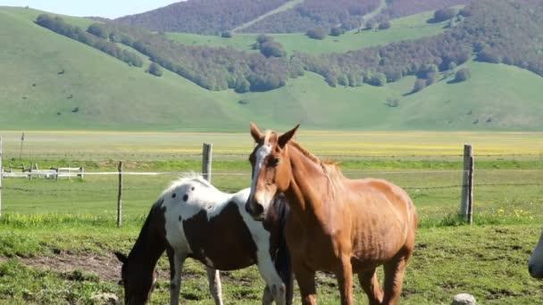 Stádo koní dark pasou na louky z Itálie.