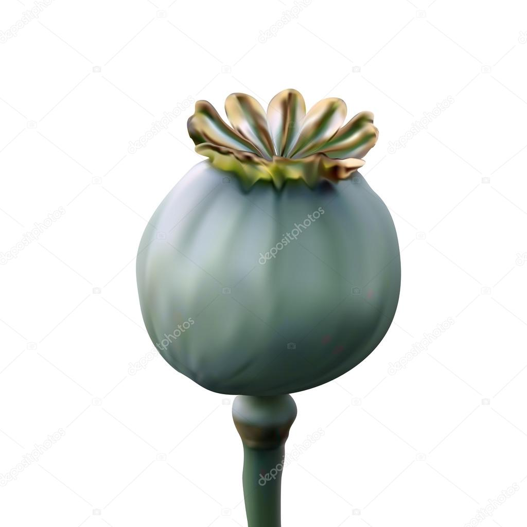 Poppy green capsule on stalk closeup