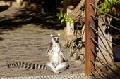 Photo Long-tailed lemurs with huge Golden eyes