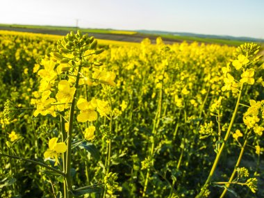 flourishing field of yellow rape