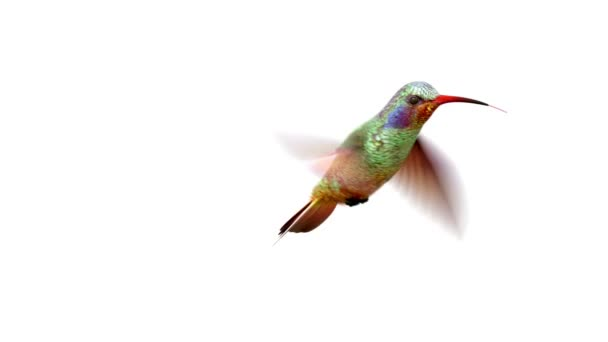 Humming bird 3d animace